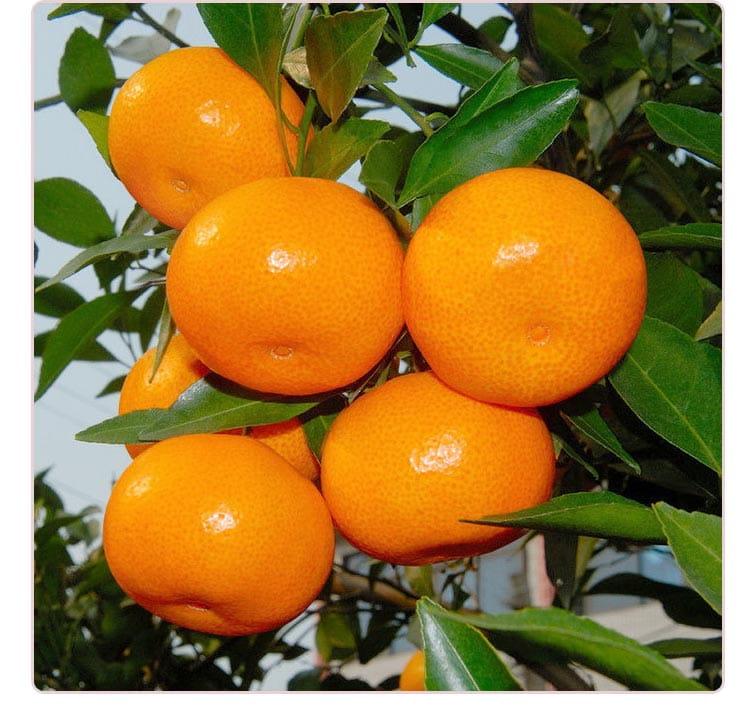 【預購】苗栗迷你珍珠砂糖橘禮盒(4斤±10%/盒) 3